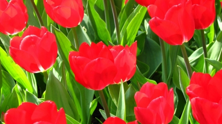 TULIPS - COLORS, LEAVES, STEMS, PETALS