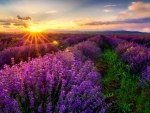 Sunlight Over The Lavender Field