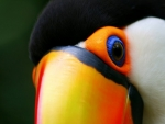 CLOSE UP OF TUCAN