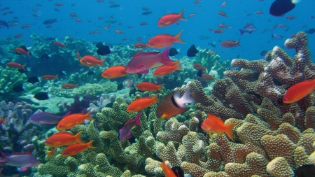 Red Fish in Coral Reef - Sea, Fish, Ecosystems, Nature, Oceans, Coral Reefs