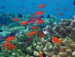 Red Fish in Coral Reef