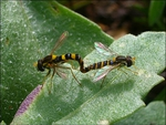 mating syrphid 4