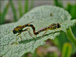 mating syrphid 3