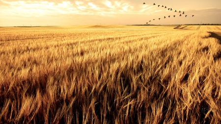 South for the Winter - fall, harvest, geese, autumn, grass, late summer, sky, Firefox Persona theme, wheat, farm, dry