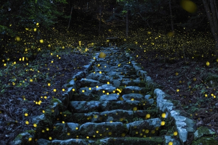 Firefly time - Fireflies, Forest, Japan, Tamba