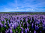 Lupine Flowers Blooming in a Field at Dawn