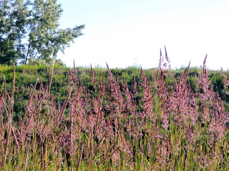 Field Of Pink Summer Grass - Pink, Grass, Trees, Nature, Photography, Sky