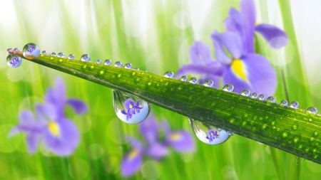 Iris Dewdrops - garden, lavender, raindrops, spring, grass, iris, leaves, Firefox Persona theme, dew drops, summer, reflection
