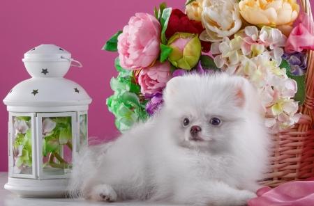 Cute White Pomeranian Spitz Dogs Animals Background Wallpapers On Desktop Nexus Image 2291326
