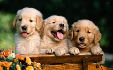 golden retriever puppies - dog, retriever, puppy, golden
