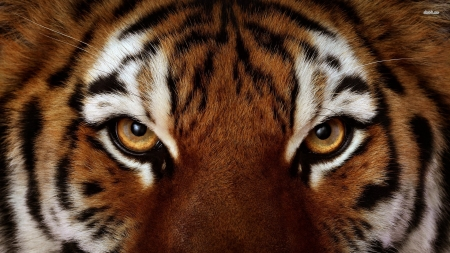 eye of the tiger - tiger, face, eye, cat