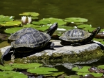 Turtles in Lily Pad Pond