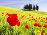 Poppies Field,Tuscany