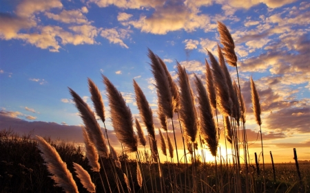 Bent-Grass at Sunset - bent-grass, plants, nature, sunset