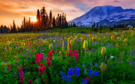 Mount Rainier - colorful, lovely, beautiful, sunset, sky, Mount Rainier, mountain, paradise, wildflowers, summer, sunrise, landscape, meadow