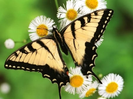 Tiger Butterfly - wings, butterfly, macro, flowers, nature, tiger, insects