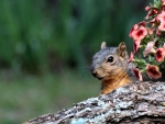 Squirrel by Petunia Flowers