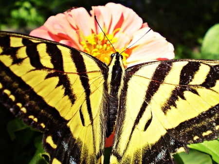 a yellow and black butterfly - insect, macro, butterfly, flower