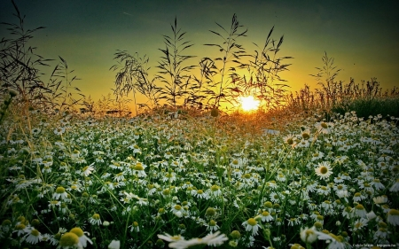 Summer Wildflowers Field at Sunset - grass, wildflowers, summer, flowers, nature, sunset, field
