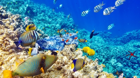 Coral Reef - fish, underwanter, ocean, coral reef, nature