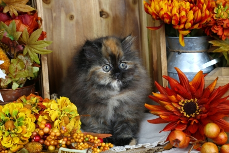 Flowers lover - autumn, cozy, fluffy, kitty, adorable, cat, sweet, cute, persian, lover, flowers, kitten