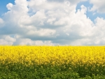 Field of yellow flowers under the clouds