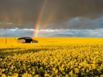 Rainbow over Rapeseed Field
