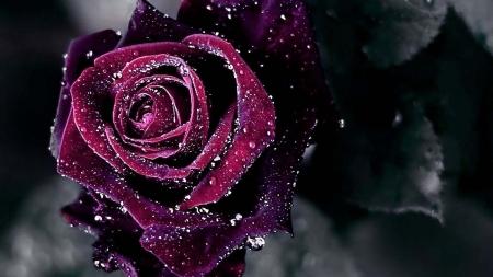 Red Velvet Rose Flowers Nature Background Wallpapers On Desktop
