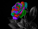 Lovely Rainbow Rose