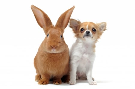 Bunny and Chihuahua - rabbit, chihuahua, caine, animal, cute, pet, bunny, couple, puppy, dog