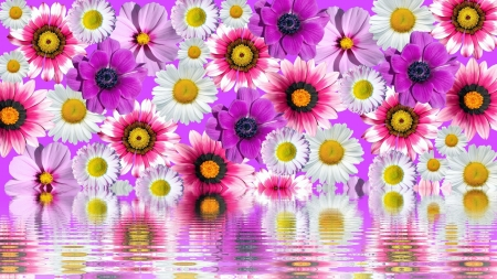 Reflection - daisies, anemones, purple, reflecction, flowers, pink