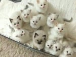 a lot of cute white kittens