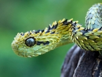 Feathered Tree Viper