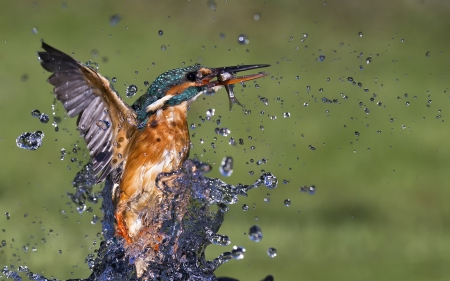 Kingfisher - water, wings, hunting, fish, drops