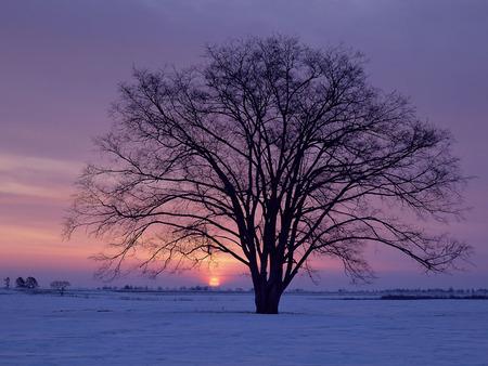 Winter's Sunrise - purple, winters sunrise, winter, white, tree, sun