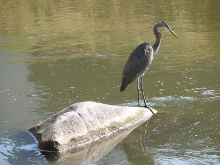 Heron on Rock - big bird, bird, heron, rock, crane, river
