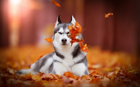 Siberian husky - Dogs & Animals Background Wallpapers on ...