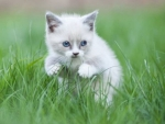 white kitten in the grass