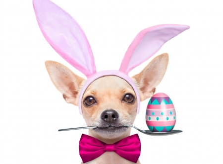 Happy Easter! - spoon, chihuahua, ears, caine, easter, bow, animal, cute, egg, bunny, funny, white, pink, puppy, dog