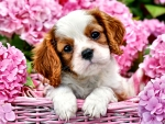 Puppy in Pink Basket - Dog FC