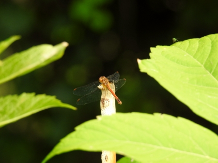 Wings And Leaves - Summer, Dragonfly, Wings, Twig, Photography, Leaves