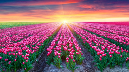 Sunset at the Tulips Field - tulips, landscape, sky, sunset, flowers, field, nature