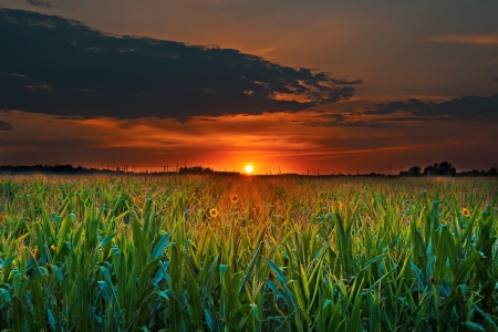 Sunset Over The Corn Field - corn, nature, sunset, clouds, sky, field