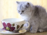 tea time with gray kitten