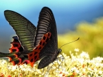 Black Butterfly on Flowers