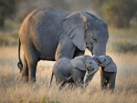 African Elephant With Twins FC