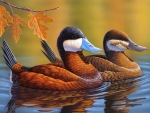 Stiff-tailed Ruddy Ducks