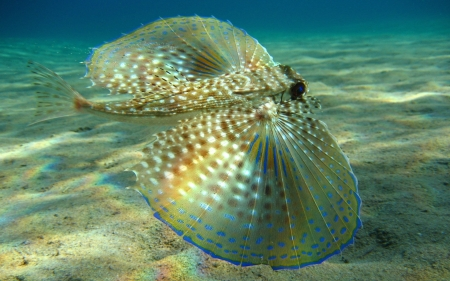 flying gurnard - gurnard, fish, flying, ocean