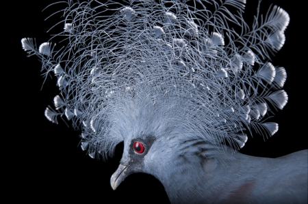 Victoria Crowned Pigeon - red eye, pasare, victoria crowned pigeon, goura victoria, joel sartore, bird, feather, fan, blue