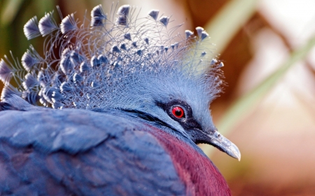 Goura Victoria - red eye, bird, feather, pasare, victoria crowned pigeon, fan, goura victoria, blue